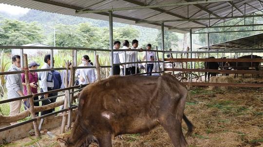 Bàn giao đàn bò tót lai gầy trơ xương - Ảnh 3.