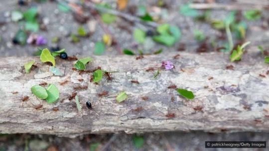 Lạ lùng món kiến mông to của người Colombia - Ảnh 2.