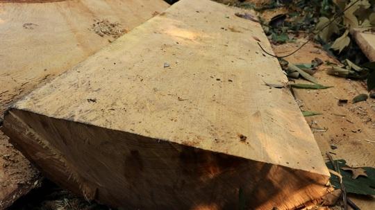 Clip: Kinh hoàng lâm tặc phá nát rừng bạch tùng hàng trăm năm tuổi ở Lâm Đồng - Ảnh 9.