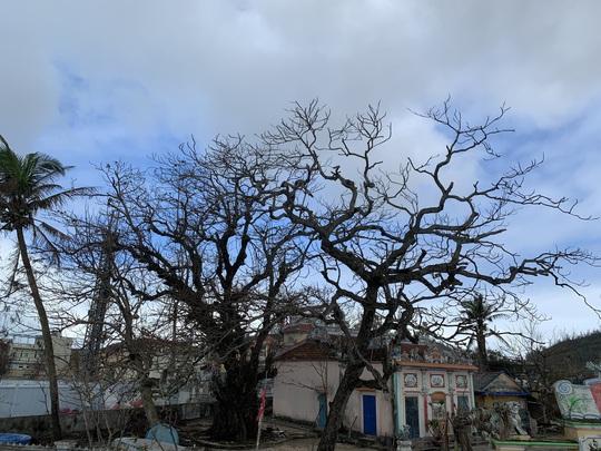 Hàng chục ngàn cây xanh trên đảo Lý Sơn bị bão vặt trụi lá - Ảnh 9.
