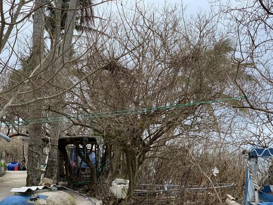 Hàng chục ngàn cây xanh trên đảo Lý Sơn bị bão vặt trụi lá - Ảnh 6.