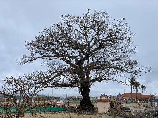 Hàng chục ngàn cây xanh trên đảo Lý Sơn bị bão vặt trụi lá - Ảnh 3.