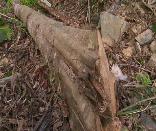 Còn phá rừng, còn thảm họa thiên tai: Rừng nguyên sinh bị rút ruột mỗi ngày - Ảnh 1.