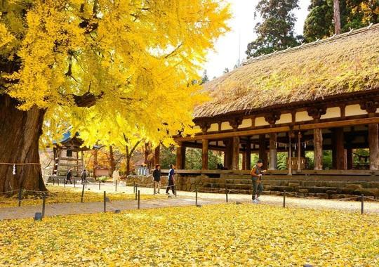 Cây rẻ quạt 800 tuổi ở Fukushima - Ảnh 1.
