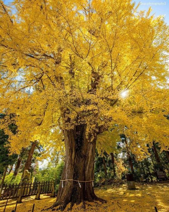 Cây rẻ quạt 800 tuổi ở Fukushima - Ảnh 2.