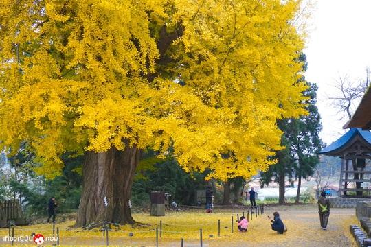 Cây rẻ quạt 800 tuổi ở Fukushima - Ảnh 8.