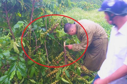 5 năm, vườn cà phê bị kẻ xấu chặt phá 10 lần, chủ nhân uất nghẹn - Ảnh 4.