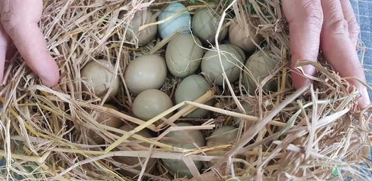 """Chất ngất trứng """"phượng hoàng đất"""" - Ảnh 1."""