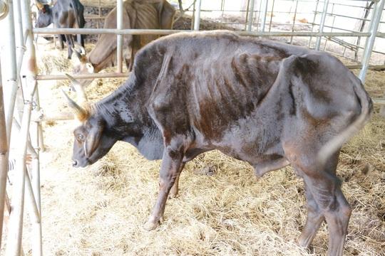 Bò tót gầy trơ xương được phục hồi và sinh con - Ảnh 7.