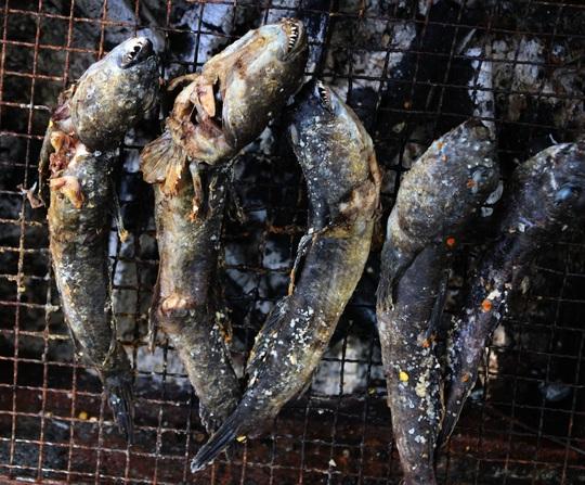 CLIP: Săn bắt loài cá biết leo cây đang dần cạn kiệt ở Cà Mau - Ảnh 15.