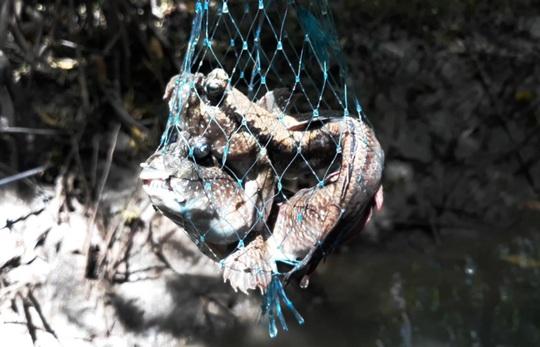 CLIP: Săn bắt loài cá biết leo cây đang dần cạn kiệt ở Cà Mau - Ảnh 12.