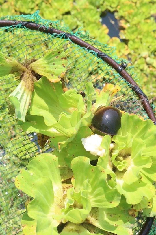 Lão nông 71 tuổi thu nhập 24 triệu đồng/tháng nhờ nuôi ốc bươu đen - Ảnh 2.