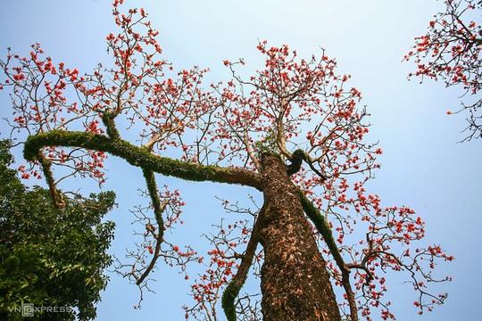 Rực đỏ hoa gạo trước sân chùa Thầy - Ảnh 4.