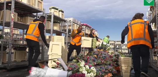 Hà Lan hủy bỏ hàng triệu cây hoa vì Covid-19 - Ảnh 2.