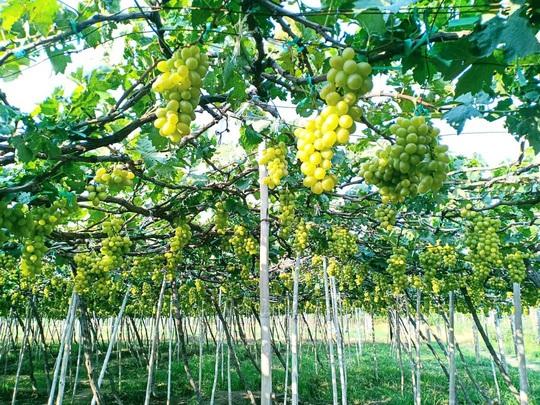 Khám phá vườn nho xanh mát, trĩu quả ở Ninh Thuận - Ảnh 3.