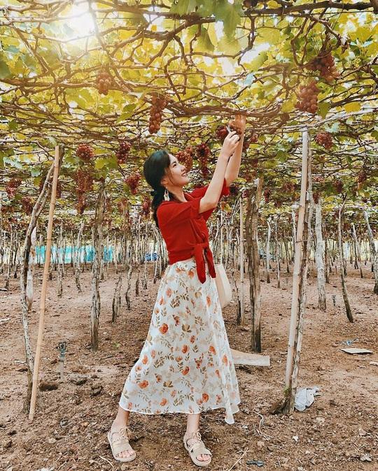 Khám phá vườn nho xanh mát, trĩu quả ở Ninh Thuận - Ảnh 4.