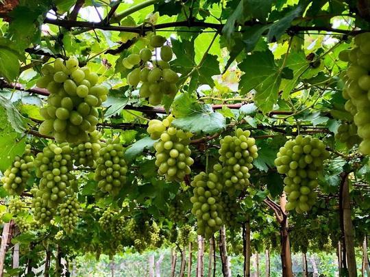 Khám phá vườn nho xanh mát, trĩu quả ở Ninh Thuận - Ảnh 5.
