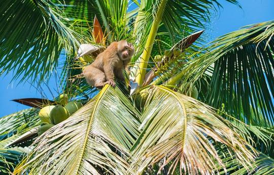Khỉ hái dừa kiếm tiền cho chủ - Ảnh 2.