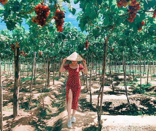 Khám phá vườn nho xanh mát, trĩu quả ở Ninh Thuận - Ảnh 2.