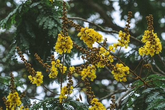 Hoàng điệp vàng rực tháng 4, gọi hè về trên xứ Huế - Ảnh 2.
