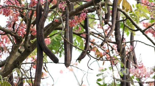 Về miền Tây ngắm vẻ đẹp dung dị của bông và trái ô môi - Ảnh 8.