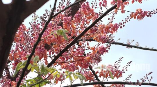 Về miền Tây ngắm vẻ đẹp dung dị của bông và trái ô môi - Ảnh 1.