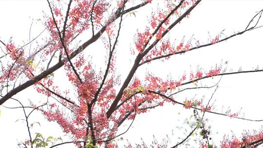 Về miền Tây ngắm vẻ đẹp dung dị của bông và trái ô môi - Ảnh 6.