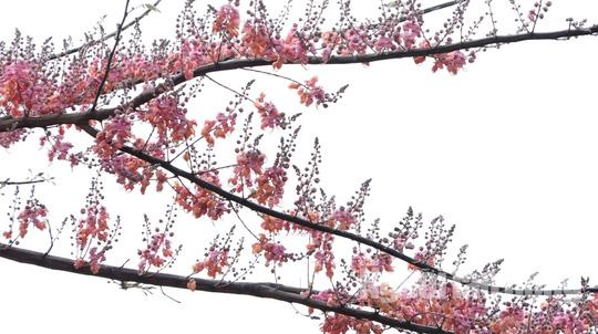 Về miền Tây ngắm vẻ đẹp dung dị của bông và trái ô môi - Ảnh 4.