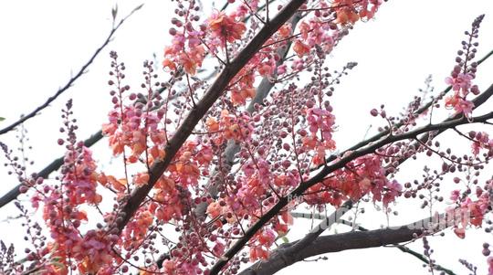 Về miền Tây ngắm vẻ đẹp dung dị của bông và trái ô môi - Ảnh 2.