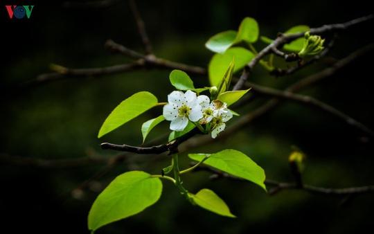 Những mùa hoa trên cao nguyên đá Hà Giang - Ảnh 11.