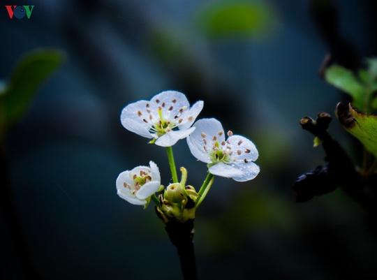 Những mùa hoa trên cao nguyên đá Hà Giang - Ảnh 12.