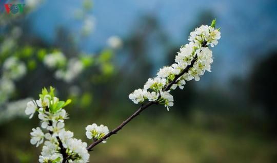Những mùa hoa trên cao nguyên đá Hà Giang - Ảnh 6.