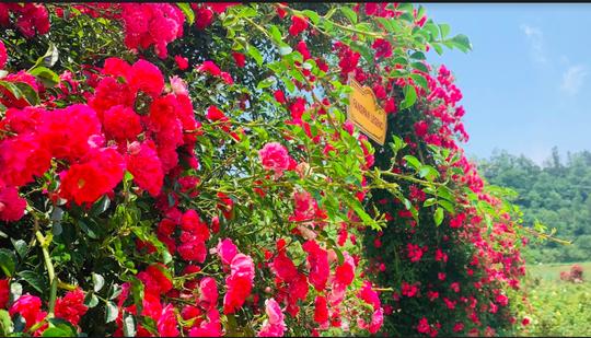 Ngắm thung lũng hoa hồng tuyệt đẹp nhận kỷ lục lớn nhất Việt Nam - Ảnh 8.