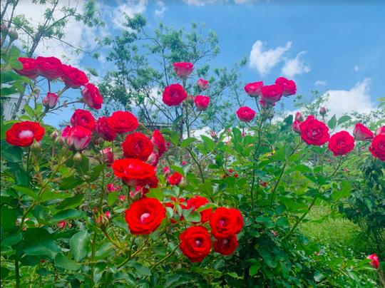Ngắm thung lũng hoa hồng tuyệt đẹp nhận kỷ lục lớn nhất Việt Nam - Ảnh 7.