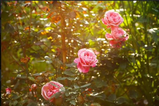 Ngắm thung lũng hoa hồng tuyệt đẹp nhận kỷ lục lớn nhất Việt Nam - Ảnh 4.