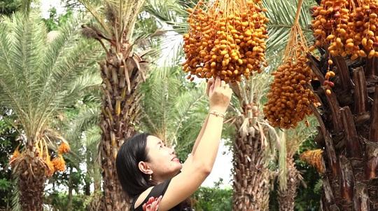 Mãn nhãn với vẻ đẹp ngất ngây của vườn chà là lớn nhất miền Tây - Ảnh 1.