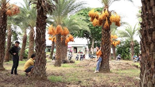Mãn nhãn với vẻ đẹp ngất ngây của vườn chà là lớn nhất miền Tây - Ảnh 3.