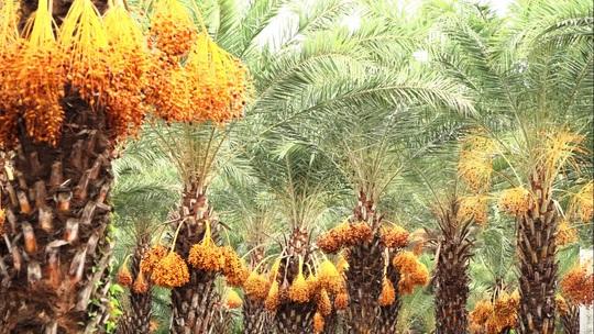 Mãn nhãn với vẻ đẹp ngất ngây của vườn chà là lớn nhất miền Tây - Ảnh 5.