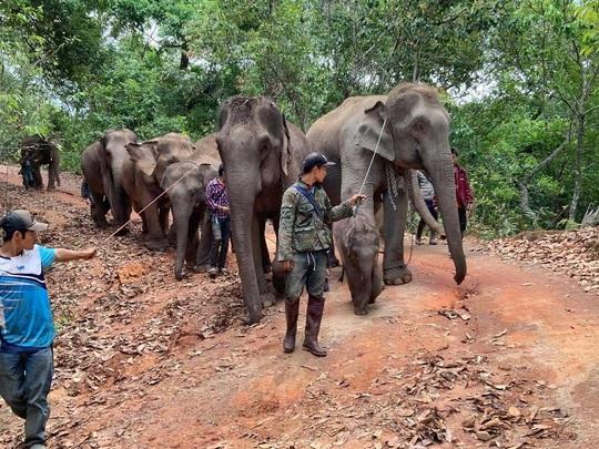 Thất nghiệp vì Covid-19, hàng nghìn chú voi Thái đi bộ về quê - Ảnh 4.