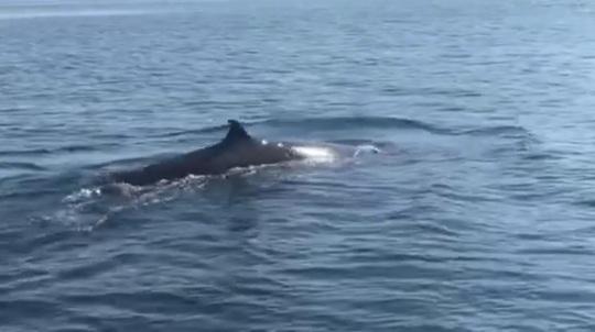 Cá voi khủng dài hơn 4m bất ngờ xuất hiện ở Cù Lao Chàm - Ảnh 2.