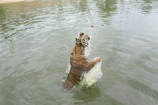 Ghé FLC Zoo Safari xem hổ săn mồi, chơi cùng voi và chuột túi Wallaby - Ảnh 6.