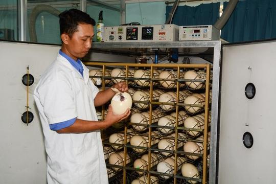Khám phá trung tâm giống đà điểu lớn nhất Việt Nam - Ảnh 3.