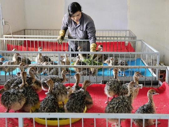 Khám phá trung tâm giống đà điểu lớn nhất Việt Nam - Ảnh 4.