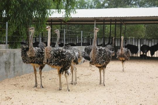 Khám phá trung tâm giống đà điểu lớn nhất Việt Nam - Ảnh 5.