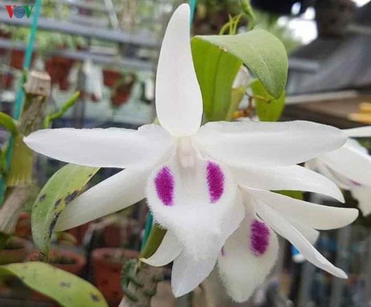 Cơn sốt lan đột biến tiền tỉ tràn về vựa hoa Đông La - Ảnh 2.