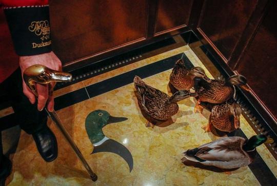 Nơi vịt duyệt binh trên thảm đỏ mỗi ngày - Ảnh 2.