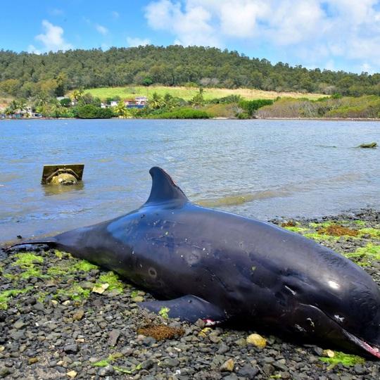 Cá heo mẹ hấp hối vẫn cố cứu con trên vùng biển bị tràn dầu - Ảnh 3.