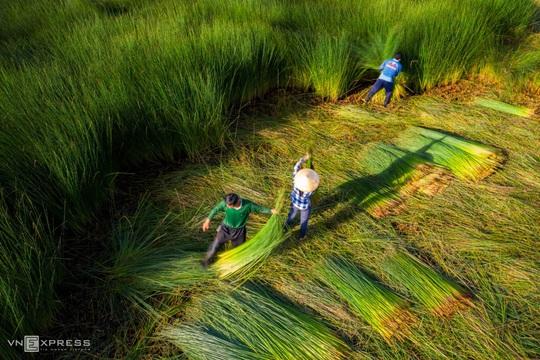Mùa gặt cỏ bàng miền Tây - Ảnh 2.