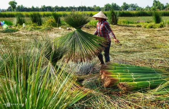 Mùa gặt cỏ bàng miền Tây - Ảnh 4.
