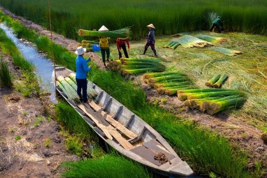 Mùa gặt cỏ bàng miền Tây - Ảnh 7.
